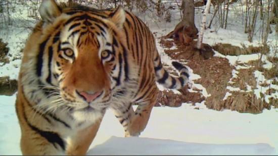 东北虎豹国家公园野生东北虎增至37只