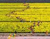 近千位采摘工人正在数千亩黄澄澄的菊花丛中采摘。