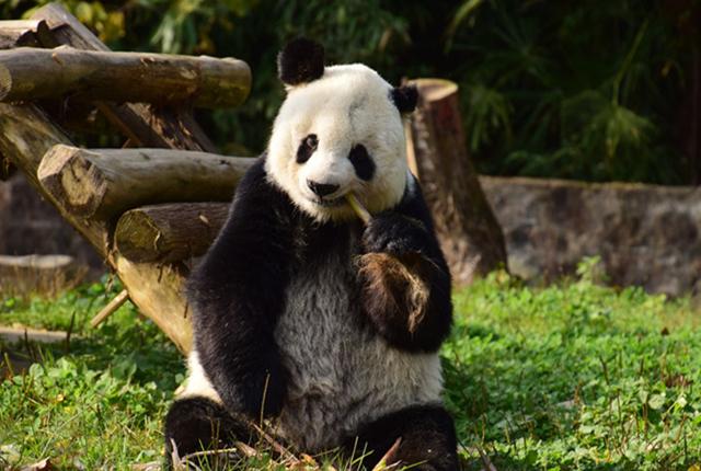 """成都:海归老龄大熊猫""""高高""""结束隔离检疫与媒体见面"""