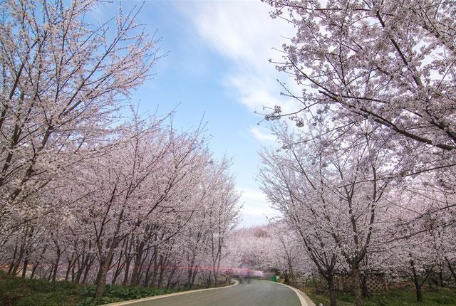 贵阳:万亩樱花怒放 平坝万亩樱花园迎来火爆樱花季