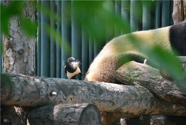 """北京:两只喜鹊薅大熊猫""""熊毛"""""""