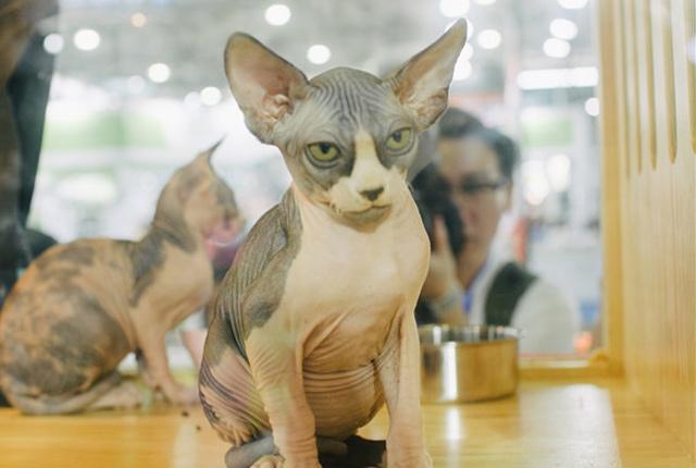 """上海:第22届亚洲宠物展览会开幕 无毛猫似""""外星物种""""夺眼球"""