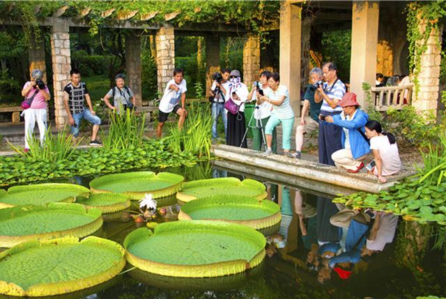 南京中山植物园王莲开花迎游客