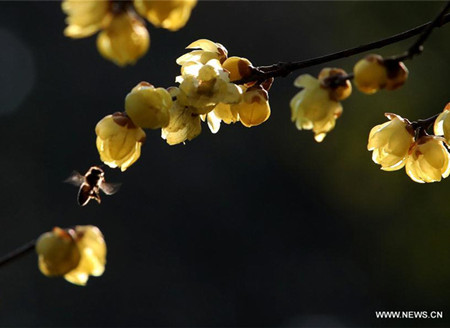 Wintersweet flowers seen in Wuxi,east China's Jiangsu