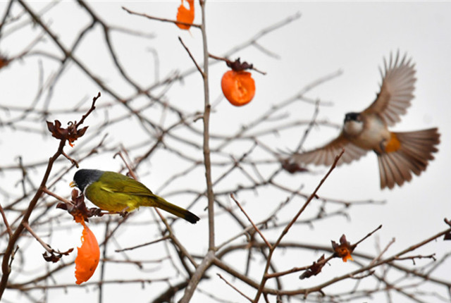 """贵阳:鸟儿""""闹柿""""冬韵美"""