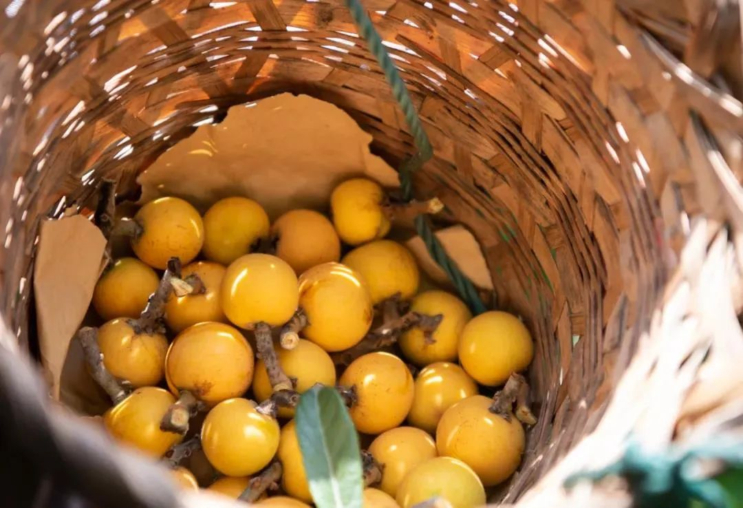 Dongshan loquats to come on the market