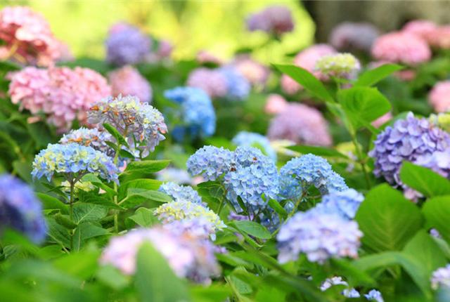 南京五彩缤纷绣球花盛开 色彩斑斓初夏时节迷人眼