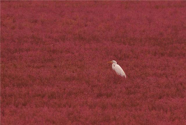 青岛碱蓬草开始变色 河滩披红装白鹭蹁跹景如画