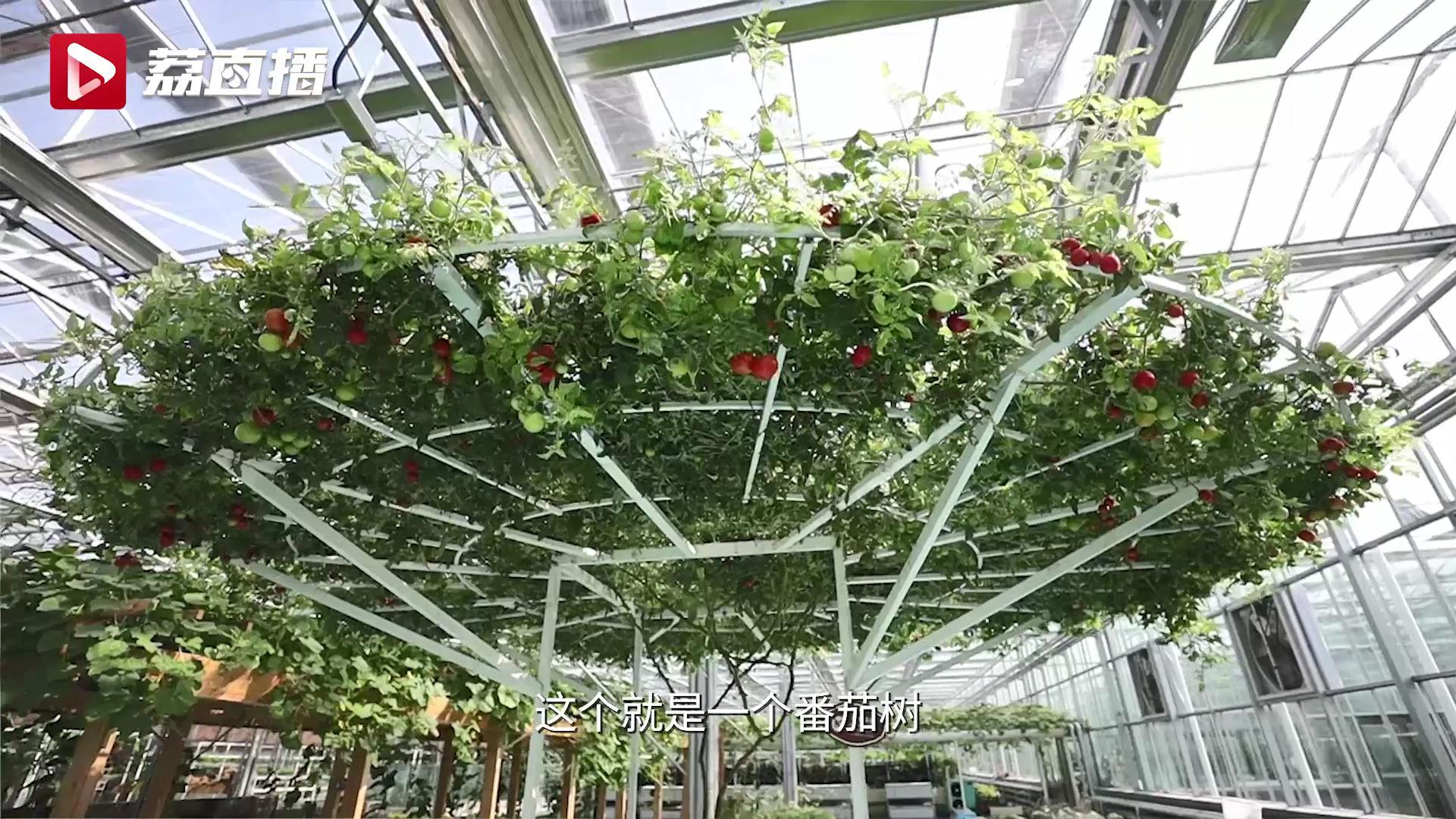 游遍江苏丨淮安金湖种有全国第一棵番茄树:一树能结1.8万个番茄