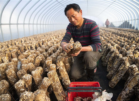 Mushroom industry sprouts success for villagers in Jiangsu