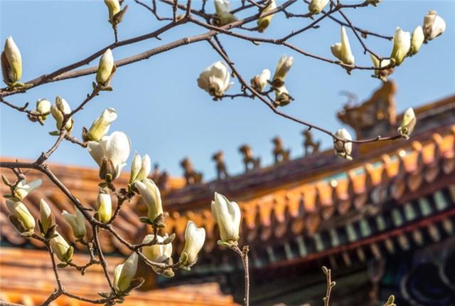 北京:故宫春天的花开了 春意浓浓
