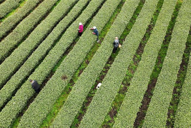 贵州凤冈锌硒茶开采