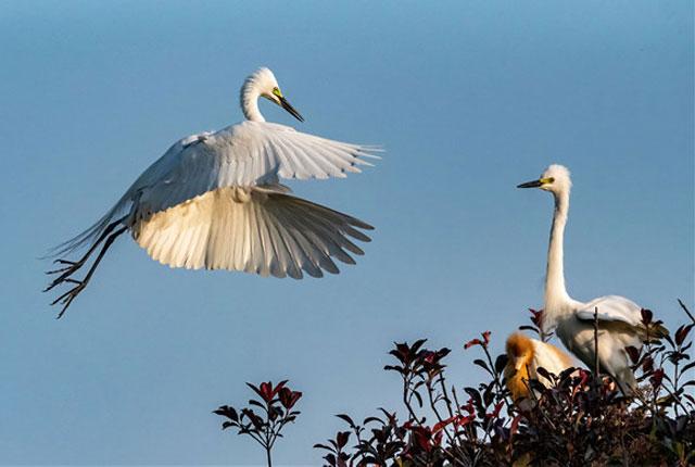 合肥:白鹭枝头飞舞觅食