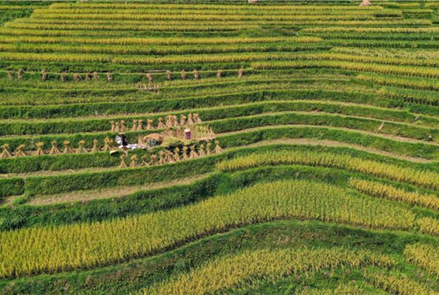 贵州黔东南:加榜梯田丰收在望